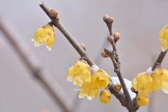 Fleur de Wintersweet Photos stock