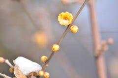 Fleur de Wintersweet Image stock