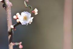Fleur de Wintersweet Image libre de droits