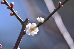 Fleur de Wintersweet Photo libre de droits