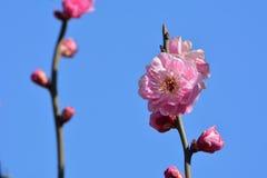 Fleur de Wintersweet Photo stock