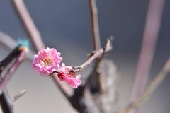 Fleur de Wintersweet Images libres de droits