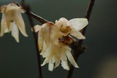 Fleur de Wintersweet-prune Photographie stock