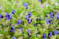 Fleur de Wishbone, Bluewings, Torenia Images libres de droits