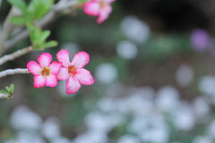 Fleur de Yasmin Photos libres de droits