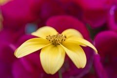 Fleur de Yelow Image libre de droits