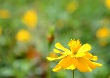 Fleur de Yelow Photos libres de droits