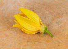 Fleur de ylang-ylang Photos libres de droits