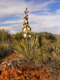 Fleur de yucca, voûtes parc national, Moab Utah Photos stock