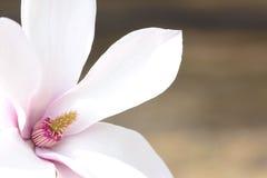 Fleur de Yulan Photographie stock libre de droits