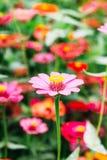 Fleur de Zania Photos stock