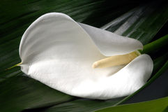 Fleur de zantedeschia Image stock