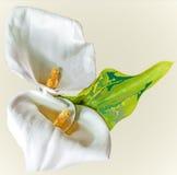 Fleur de zantedeschia Photos libres de droits