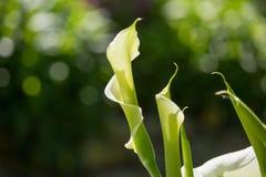 Fleur de Zantedeschia Images libres de droits