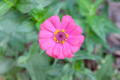 Fleur de Zinnia Photo libre de droits