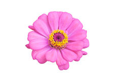 Fleur de Zinnia Image libre de droits