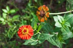 Fleur de Zinnia dans le jardin Photos stock