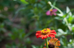 Fleur de Zinnia dans le jardin Photographie stock