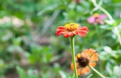 Fleur de Zinnia dans le jardin Image libre de droits