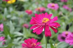 Fleur de Zinnia, plan rapproché de fleur rouge de Zinnia Image stock