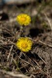 Fleur de zone Coltsfoot Photo libre de droits