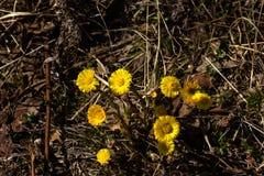 Fleur de zone Coltsfoot photos stock