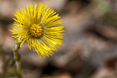 Fleur de zone de Coltsfoot images stock