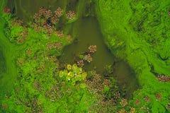 Fleur des diatomées Photos stock