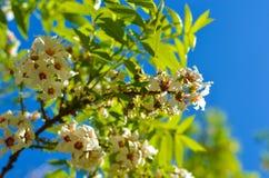 Fleur des fleurs blanches sur l'arbre images libres de droits