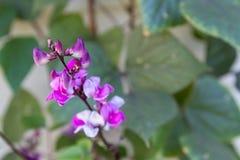 Fleur des haricots décoratifs sur une branche Photo stock