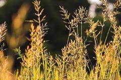 Fleur des herbes Photos stock