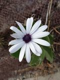 Fleur des p?tales blancs photographie stock