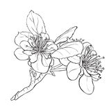 Fleur - dessin de fleurs de cerisier Image libre de droits