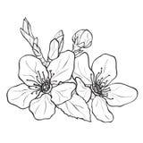 Fleur - dessin de fleurs de cerisier Images libres de droits