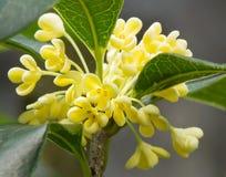 Fleur douce d'Osmanthus photo libre de droits