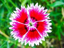 Fleur douce rouge de William dans la fin  photos stock