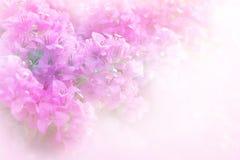 Fleur doucement rose et pourpre de bouganvillée avec le fond mou de filtre Photographie stock