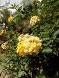 Fleur droite jaune image libre de droits
