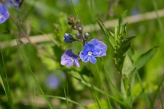 Fleur du ½ ика/forest du ¾ Ð de Veronica/Ð'ерРphoto libre de droits