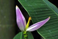Fleur du bananier ornemental Images libres de droits