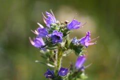 Fleur du Bugloss de la vipère Photographie stock