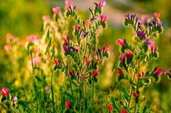 Fleur du bugloss de la vipère de Judaean Image libre de droits