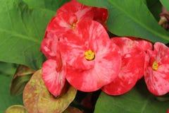 Fleur du Christ ou milii d'euphorbe Photo libre de droits