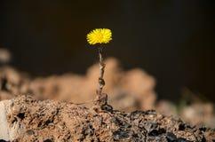 Fleur du coltsfoot d'usine Photo stock