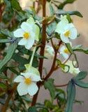 Fleur du dregei de bégonia Photo stock