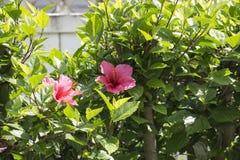 Fleur du hisbicus deux sur un feuillage vert et une barrière blanche photo libre de droits