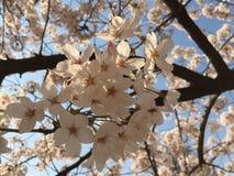 Fleur du Japon Photo stock