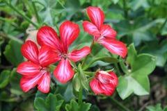 Fleur du jardin en été dans les Landes photographie stock
