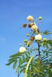 Fleur du leadtree blanc Image libre de droits