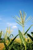 Fleur du maïs photos stock